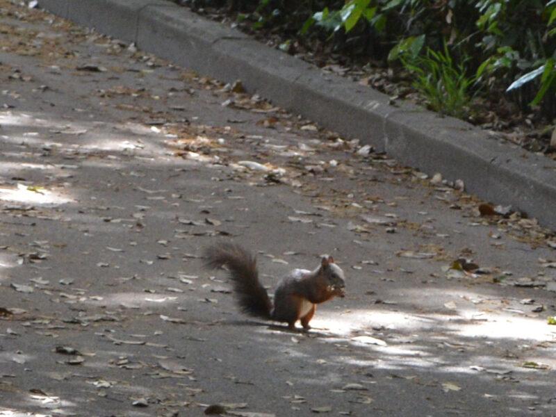 Lo scoiattolo comune